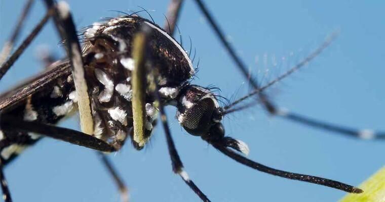 Komar tygrysi 2019: Jak wygląda? Jak się chronić? [objawy, leczenie] Ukąszenie może oznaczać śmierć 16.09.2019