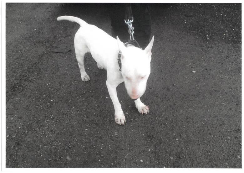 Bulterier ma 3 lata, jest łagodnym psem. Dlaczego ktoś przywiązał go do drzewa w lesie i kto jest jego właścicielem, próbują ustalić policjanci z komisariatu