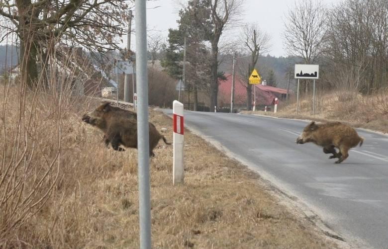14 listopada 2019 r. potwierdzono pierwszy przypadek ASF w Lubuskiem. Wirus został wykryty u dzika potrąconego przez auta w gminie Sława. Od tego momentu