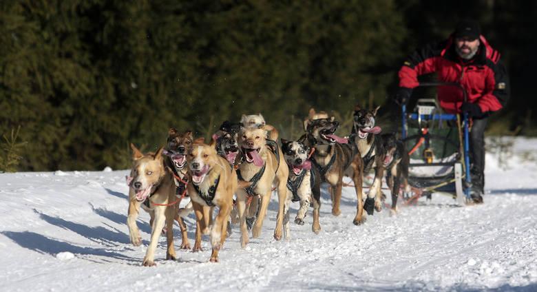 Psie zaprzęgi. Kto z nas nie marzył kiedyś o tym by być pasażerem sań ciągniętych przez kilkanaście psów. Takie obrazki nie raz oglądaliśmy przecież