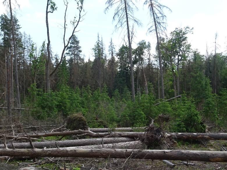 Zdaniem obrońców Puszczy Białowieskiej, leśnicy przygotowali aneksy do planów urządzania lasu, by wycinać więcej niż zakładał dotychczasowy limit. Chodzi