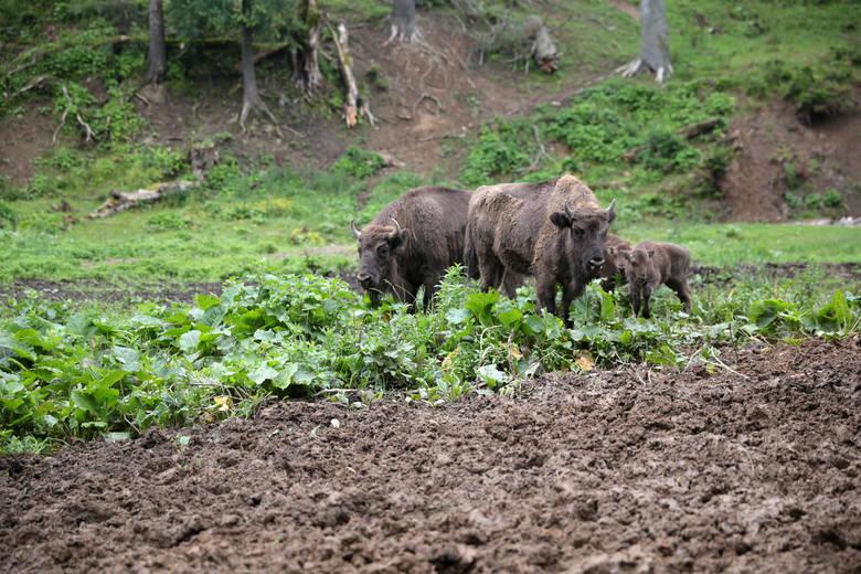 Żubry z Mucznego w Bieszczadach. Możesz je spotkać w Zagrodzie Pokazowej Żubrów prowadzonej przez Nadleśnictwo Stuposiany.