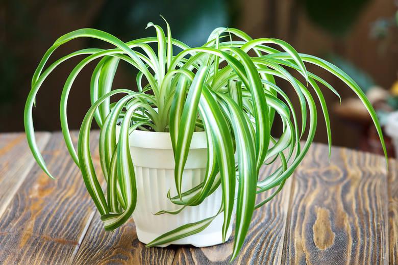 Na koniec znowu klasyka klasyki, czyli zielistka Sternberga z Ameryki Południowej. Dekady temu znał ją chyba każdy. To mało wymagająca roślina o długich