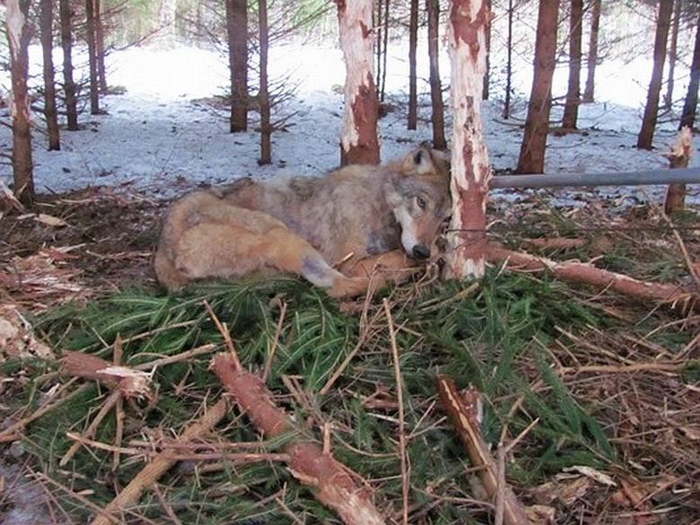 Nadleśnictwo Olecko: Wilczyca umierała we wnykach