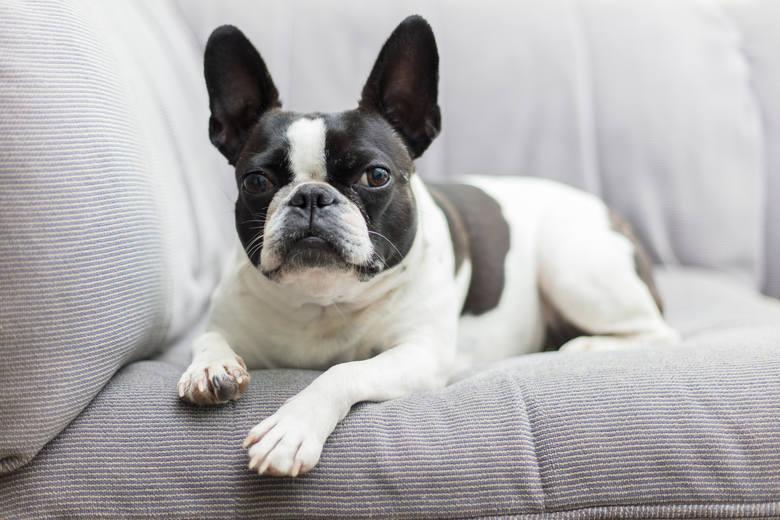 Jeżeli zapewnisz bostonowi swoje towarzystwo i rozrywkę, odwdzięczy ci się szczerą miłością. Te niewielkie psy są bardzo przyjazne i mocno przywiązują