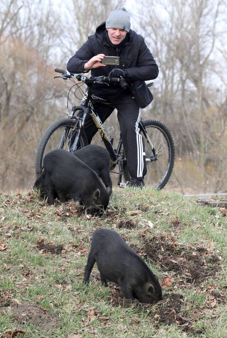 Co się stało ze świnkami, które wypasały się przy drodze we Wrocławiu?