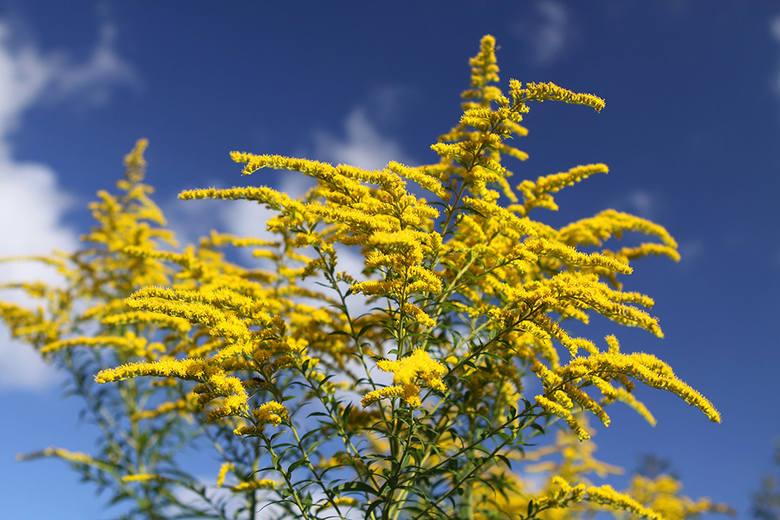 Nawłoć kanadyjska to chyba najbardziej rozpoznawalną rośliną inwazyjną w Polsce