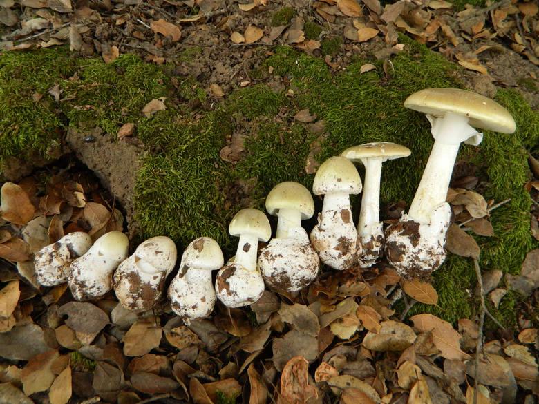 Zwany inaczej muchomorem sromotnikowym jest grzybem silnie trującym. Zawarta w nim amatoksyna trwale uszkadza wątrobę i inne narządy. Nawet przy zaawansowanym
