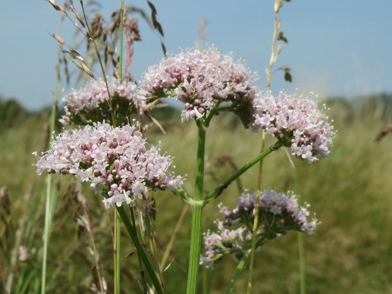 Znanym antystresowym ziołem na uspokojenie jest kozłek lekarski (Valeriana officinalis), znany też jako waleriana. Wchodzi w skład większości suplementów