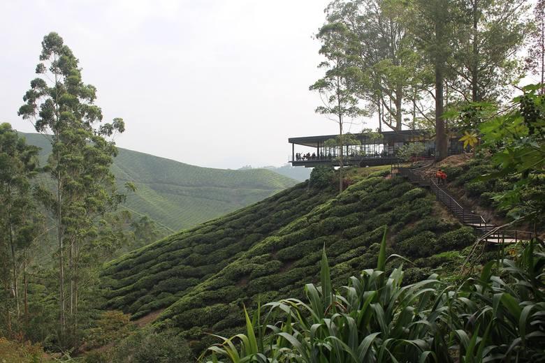 Herbata - czy wiesz, jak powstaje? Zobacz pola herbaty w Malezji i sposoby przygotowywania jednego z najstarszych napojów świata