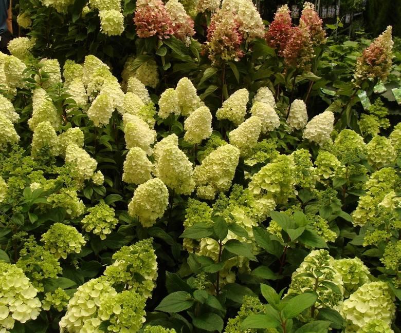 Wszystkie hortensje najlepiej rosną w zacisznych, osłoniętych miejscach. Lubią żyzne, próchnicze i przepuszczalne ziemie. Większość gatunków woli gleby