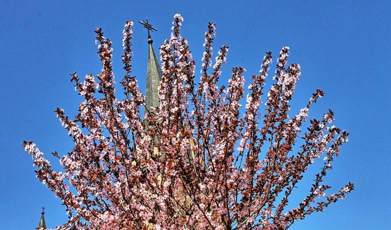 Dobczyce. Na rynku zakwitły magnolie. Wspaniały widok! [ZDJĘCIA]