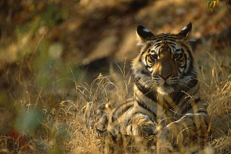 Tygrys (Panthera tigris) Obecnie tygrysy zajmują mniej niż 7% ich oryginalnego terytorium. W ciągu XX w. liczebność tych zwierząt zmniejszyła się aż