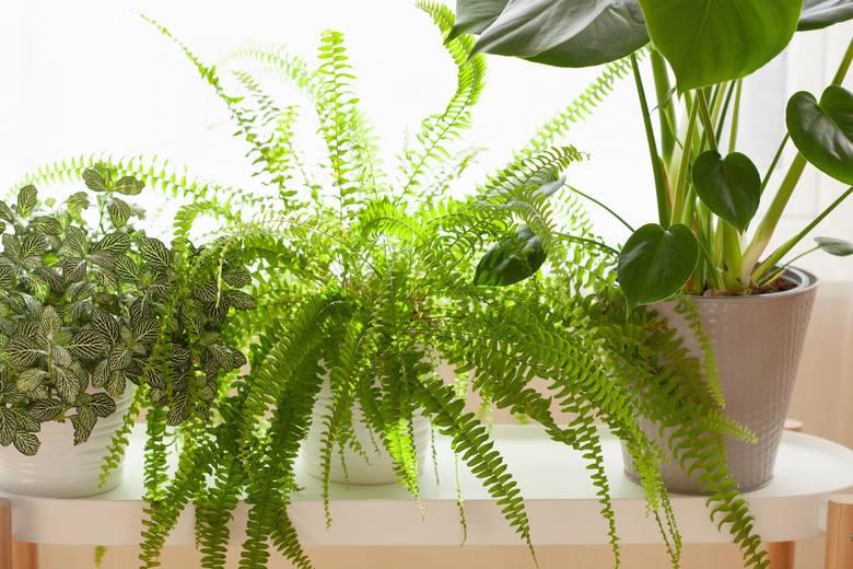 Klasyka klasyki, czyli paprotka z gatunku Nephrolepis jest najpopularniejszą domową paprotką, znaną od XIX wieku. Podobno była ulubioną rośliną angielskiej