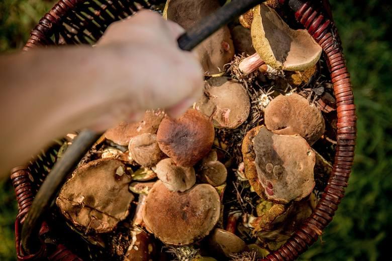 Wysyp grzybów w lasach, także w Kujawsko-Pomorskiem. Prawdziwki, koźlaki, zajączki, podgrzybki, maślaki - rekordowe zbiory w lasach naszego regionu!