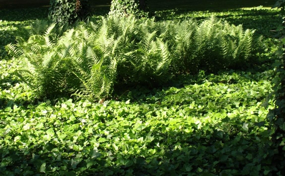 Wiecznie zielony ogród, czyli rośliny zimozielone - Dzienniklodzki.pl
