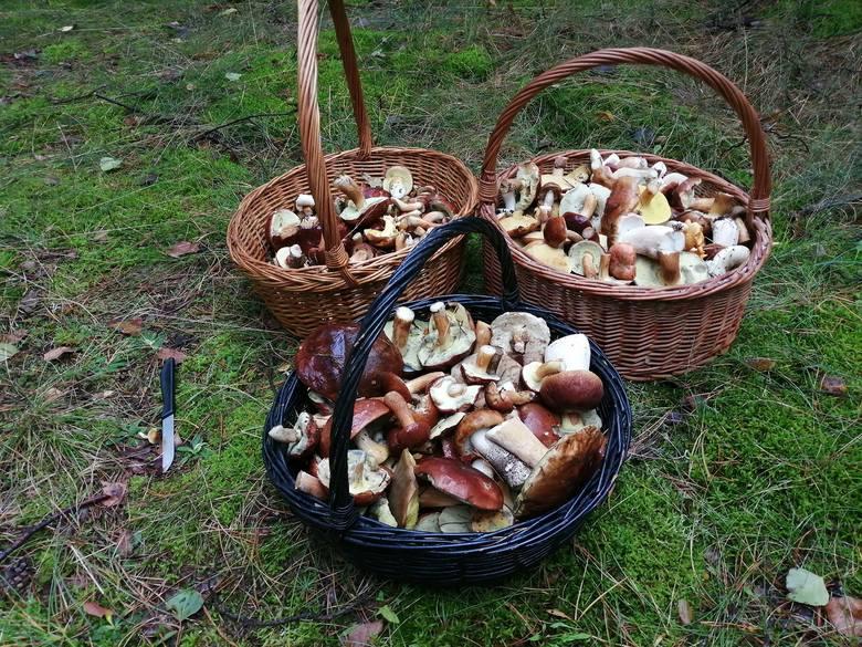 Trwa wysyp grzybów w lasach województwa łódzkiego