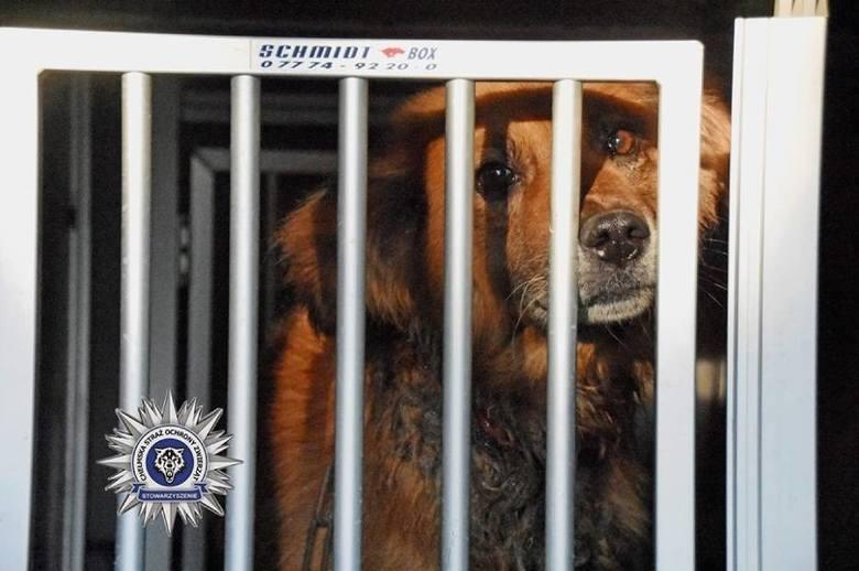 Żółkiewka. Pies z wrośniętym w szyję łańcuchem był przywiązany do wozu (ZDJĘCIA)