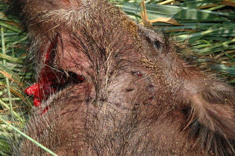 Ślady po kęsach (zębach) wilka na gardle zagryzionego dzika.