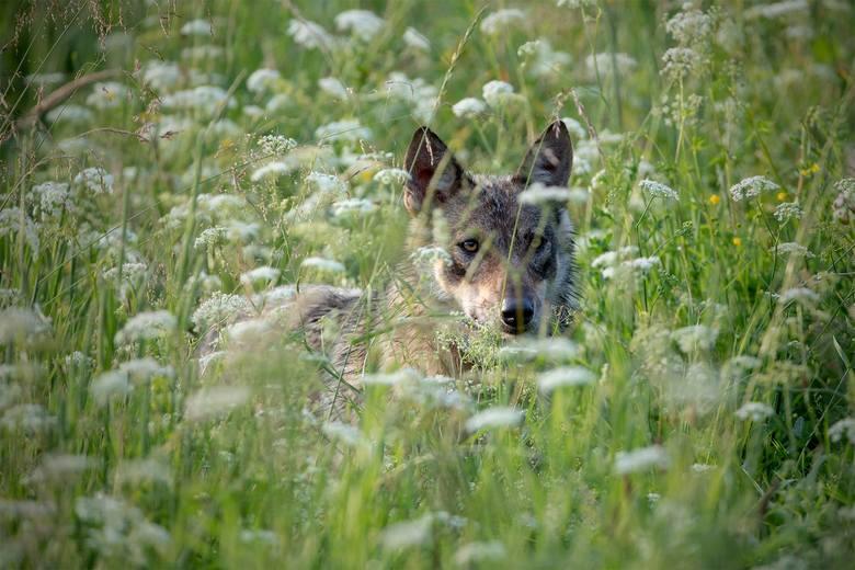 Portret wilka w Baldaszkach.<br />