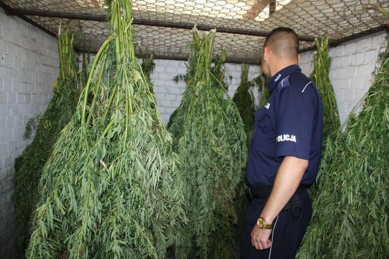 Kryminalni zlikwidowali plantację marihuany