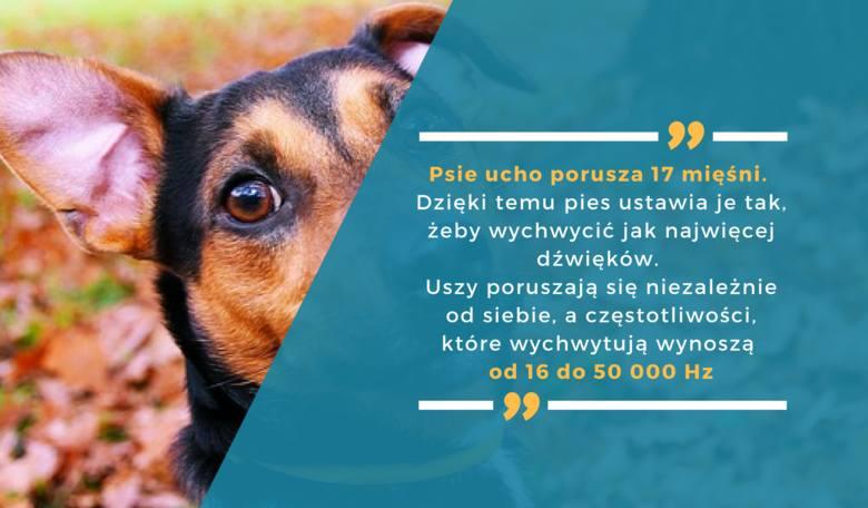 Psie ucho porusza 17 mięśni. Dzięki temu pies ustawia je tak, żeby wychwycić jak najwięcej dźwięków. Uszy poruszają się niezależnie od siebie, a częstotliwości,