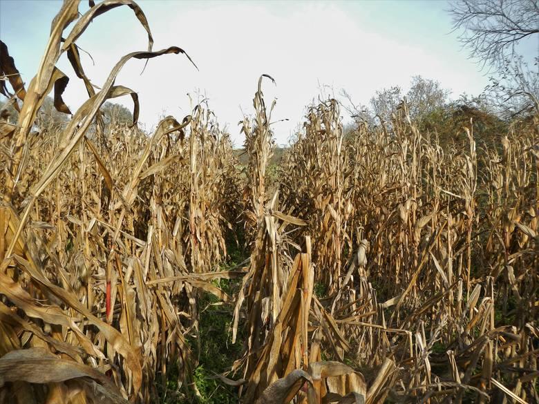 Kukurydzana jednym z pól w powiecie bydgoskim