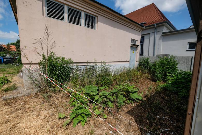 7-latek poparzył się groźnym barszczem Sosnowskiego. Roślina nadal jest zabezpieczona tylko taśmą ostrzegawczą