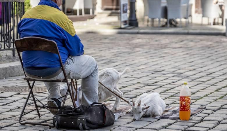 W ostatni weekend na płycie Starego Rynku po raz kolejny można było spotkać mężczyznę, który przy Ratuszu od kilku lat pojawia się w towarzystwie dwóch