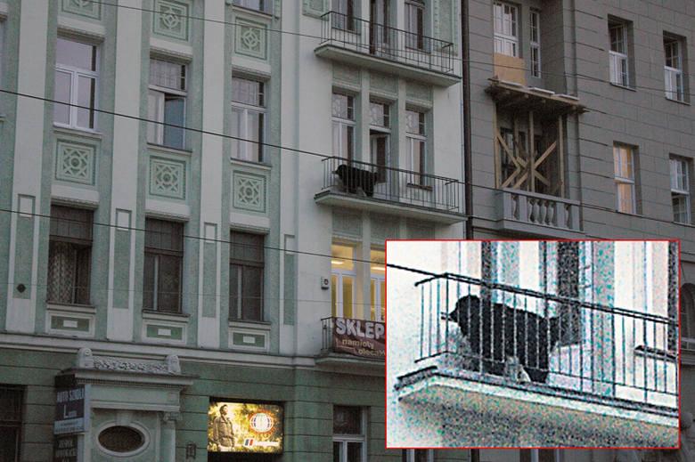 Mieszkańcy skarżą się, że właścicielka nowofundlanda nie dba o psa, a ten  sika z balkonu.