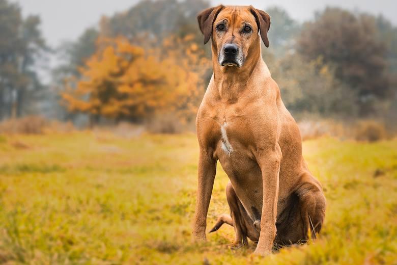 Agresywne rasy psów. Poznaj 14 ras psów uznawanych za najbardziej niebezpieczne. Lepiej na nie uważać! To agresywne psy [4.06.2020]