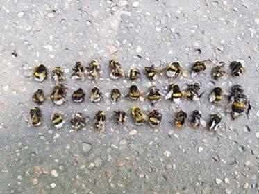 Martwe pszczoły i trzmiele w Parku Śląskim, tuż przy bramie zoo. Skąd tyle martwych owadów? Tego nie wiadomo...