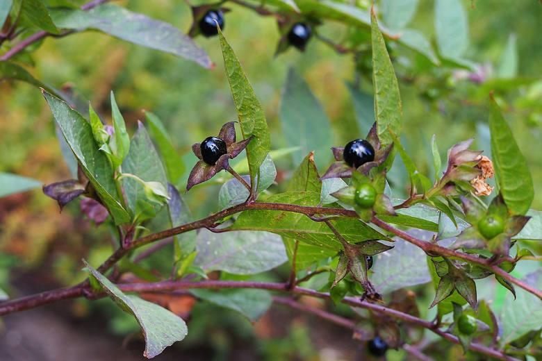 Pokrzyk wilcza jagodaPokrzyk wilcza jagoda to roślina silnie trująca, przy czym największe stężenie toksycznych alkaloidów znajduje się w korzeniach