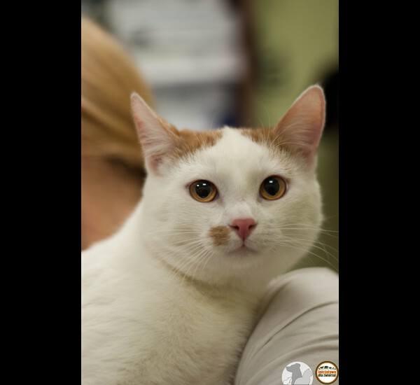 """<strong>Simba</strong> ma około dwóch lat. To łagodny kot i jak mówią pracownicy schroniska, jest królem głównej kociarni. Lubi bawić się zabawkami, brać udział w """"polowaniach"""" na nie. Uwielbia smaczki. Akceptuje inne koty. <br /> <br /> Piękny jest, prawda?"""