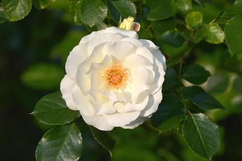 Białe kwiaty wyglądają dobrze w każdym ogrodzie. Możemy z nich tworzyć jednobarwne kompozycje, albo sadzić z kwiatami o innych barwach – czerwonych,