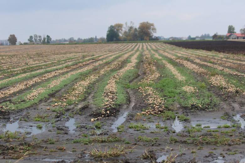 Niewątpliwym zagłębiem cebulowym na Kujawach jest powiat radziejowski, gdzie wielu rolników od lat uprawia kilka gatunków cebuli.