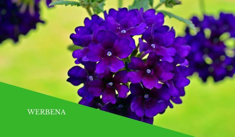 Top 8 Kwiatów Na Słoneczny Balkon Rośliny Które Wytrzymają