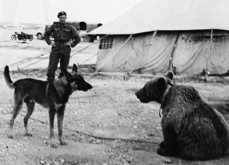 Miś Wojtek tak jak inni żołnierze Armii Andersa walczył o wolność, by po wojnie ją stracić...