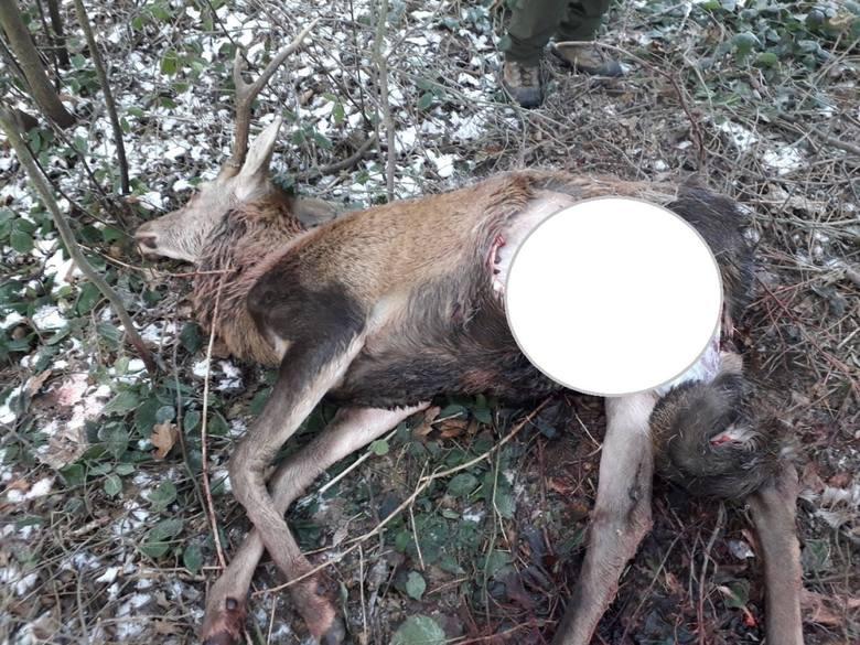 Zdaniem myśliwych z Mucharza to zwierzę zostało zagryzione przez wilki