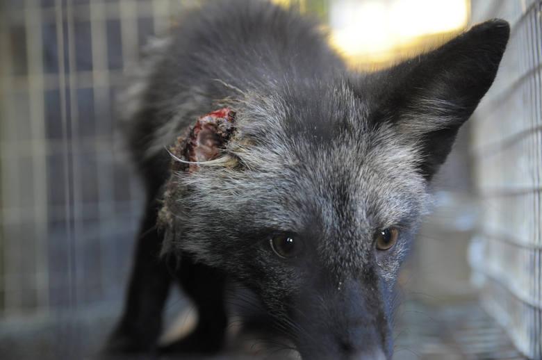Propozycja ministra Ardanowskiego, zwana lex Ardanowski, ma uniemożliwić skuteczną interwencję organizacjom prozwierzęcym na terenie gospodarstw, ferm, hodowli zwierząt. W efekcie odbiera się im uprawnienia, dzięki którym mogły do tej pory ratować zwierzęta.