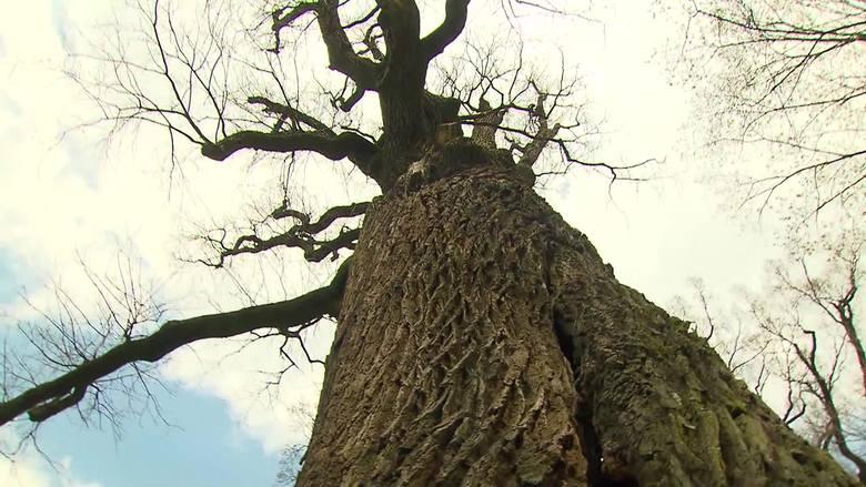 Dąb Józef z Wiśniowej Europejskim Drzewem Roku [WIDEO]