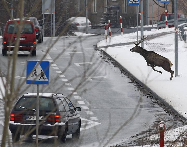 Stado jeleni w centrum Opola [zdjęcia]
