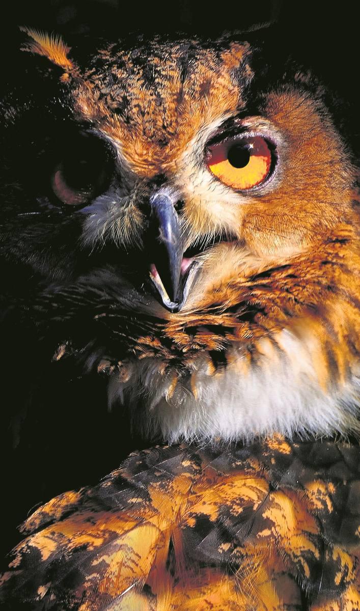 Puchacz, największa sowa świata, żyje m.in. pod Skwierzyną i Ośnem.