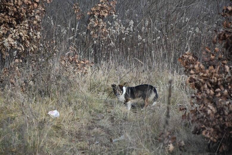 Nowe Żukowice. Porzucone psy od wiosny błąkają się po wsi. Urzędnicy są nieczuli na ich los? [ZDJĘCIA]