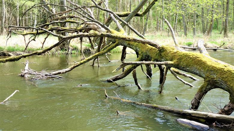 Drawieński Park Narodowy (położony na terenie Lubuskiego, Zachodniopomorskiego i Wielkopolskiego), który 1 maja 2020 r. obchodził 30. urodziny, to rzeka