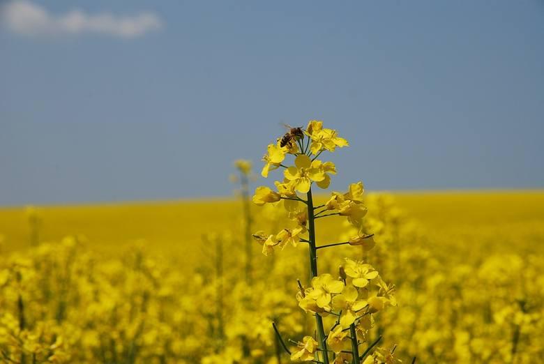 20 maja będziemy po raz pierwszy obchodzili Światowy Dzień Pszczół. Była to inicjatywa Republiki Słowenii, a konkretnie Słoweńskiego Stowarzyszenia Pszczelarzy.
