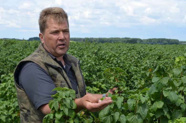 - Nie wiem, czy w tym roku uzyskam 25 procent z tego, co przy normalnym roku zbieram z pola - mówi Piotr Stachnik, , właściciel 70 ha czarnej porzeczki