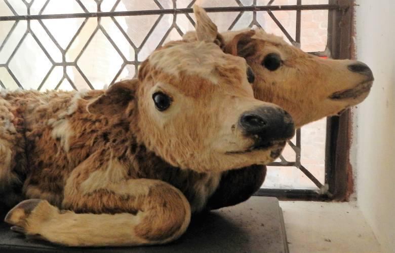 Gospodarz zazwyczaj cieszy się, kiedy na świat przychodzi nowe cielę, powiększające jego hodowlę. Czasem jednak te narodziny mogą być niezwykle zaskakujące.