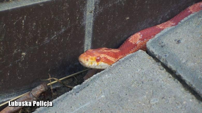 Półtorametrowy wąż zablokował się w drzwiach wejściowych bloku mieszkalnego na osiedlu Europejskim. Policję zaalarmowała mieszkanka Gorzowa, która zauważyła