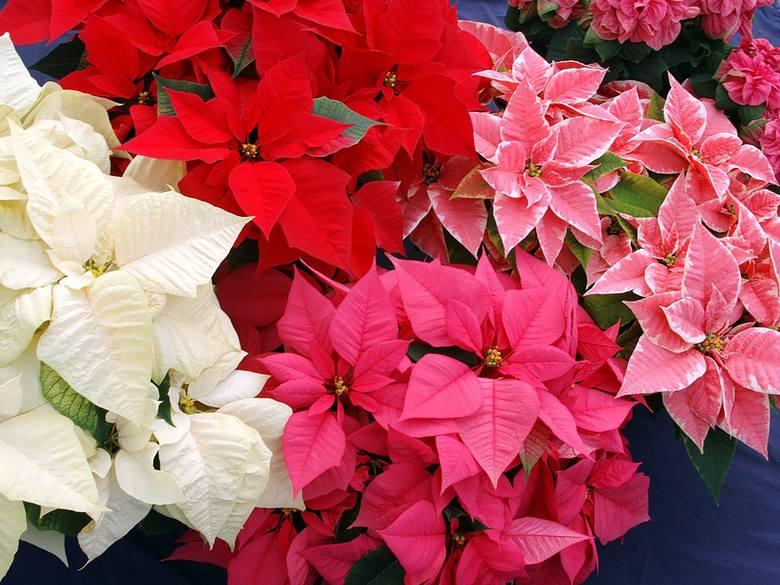 Gwiazda betlejemska to bardzo ładna roślina doniczkowa. Warto poznać ją bliżej. Oto 10 rzeczy, których (pewnie) o niej nie wiedzieliście.
